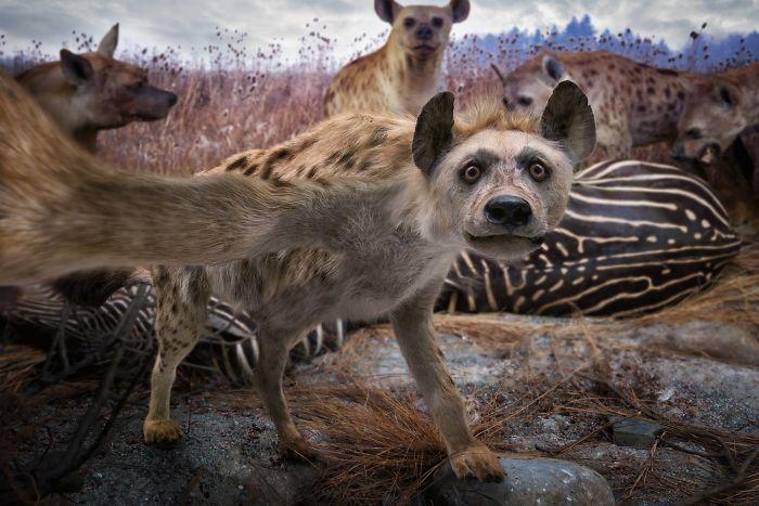 The Hyena's Selfie