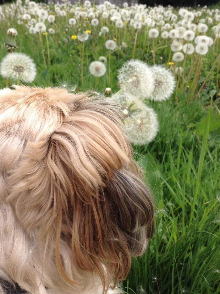 My Dog And The Dandelions