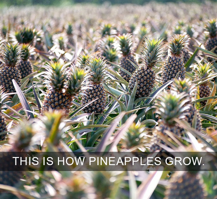 Pineapples Don't Grow On Trees
