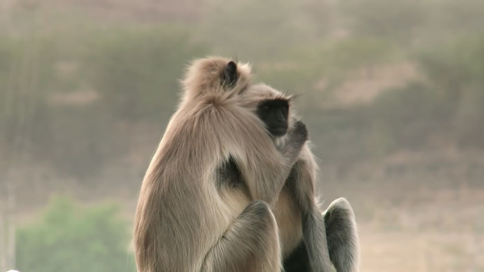 monkeys-mourn-dead-robot-spy-in-the-wild-1