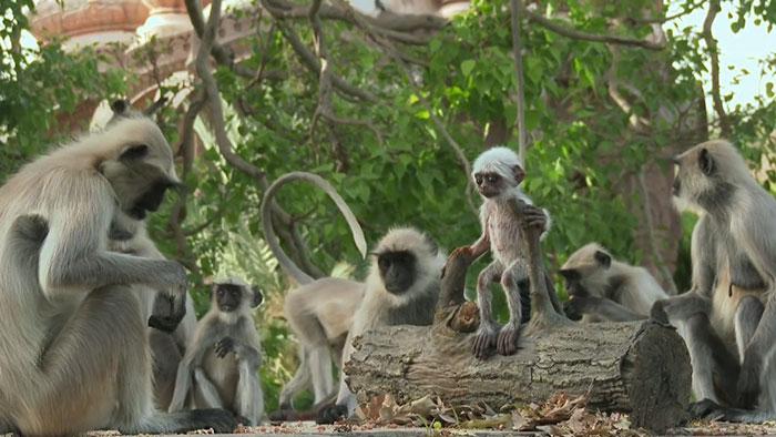 monkeys-mourn-dead-robot-spy-in-the-wild-4