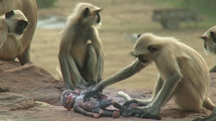 monkeys-mourn-dead-robot-spy-in-the-wild-5