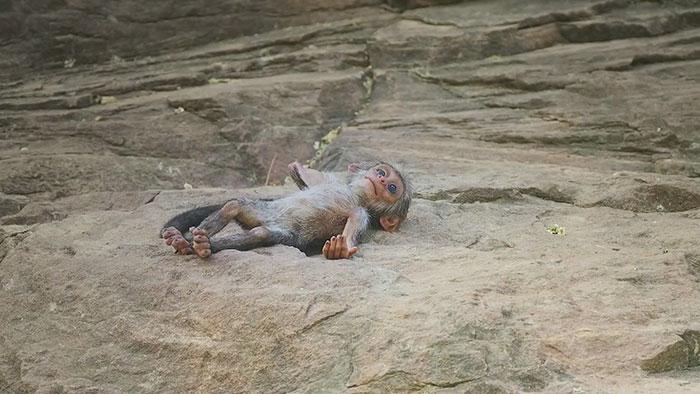 monkeys-mourn-dead-robot-spy-in-the-wild-9