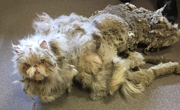 Cat Who Was Carrying More Than Half Of His Weight In Matted Fur Goes Through Incredible Transformation