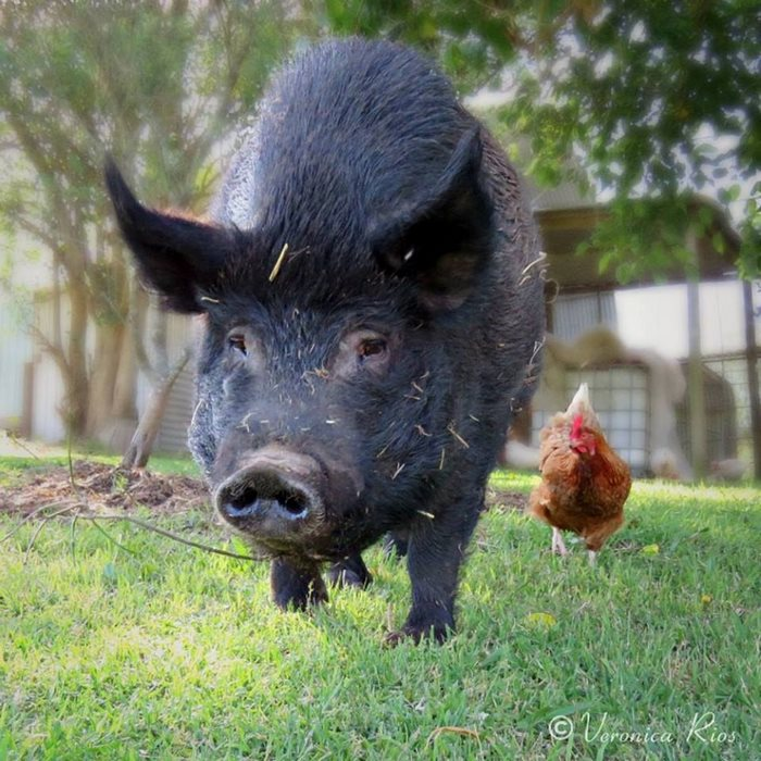 pig-spends-twelve-years-tiny-stall-edna-10