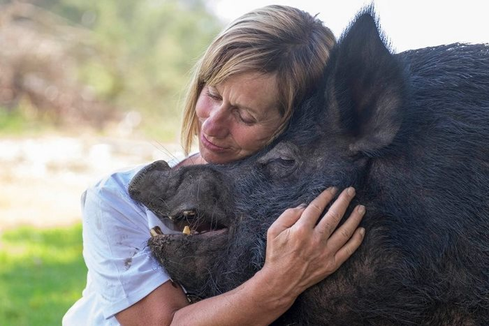 pig-spends-twelve-years-tiny-stall-edna-12