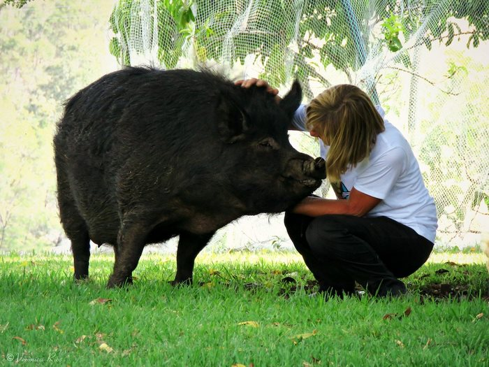 pig-spends-twelve-years-tiny-stall-edna-13