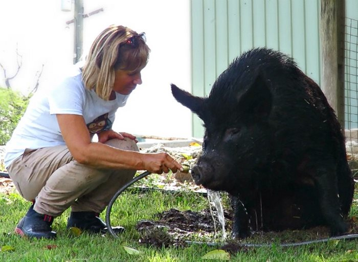 pig-spends-twelve-years-tiny-stall-edna-14