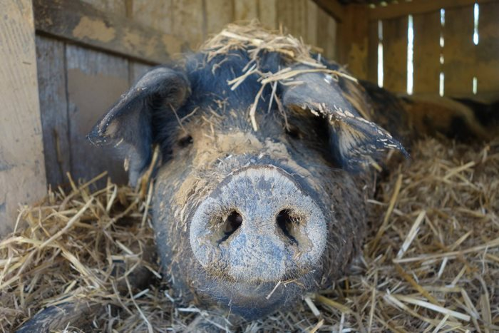 pig-spends-twelve-years-tiny-stall-edna-5