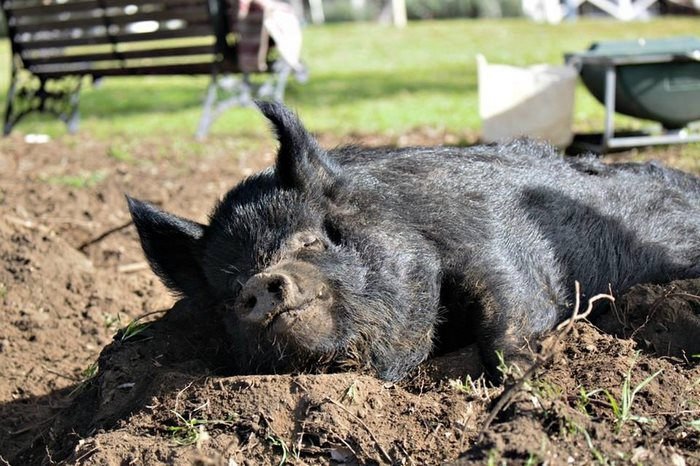 pig-spends-twelve-years-tiny-stall-edna-7