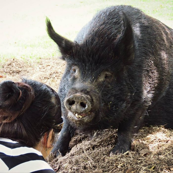 pig-spends-twelve-years-tiny-stall-edna-8