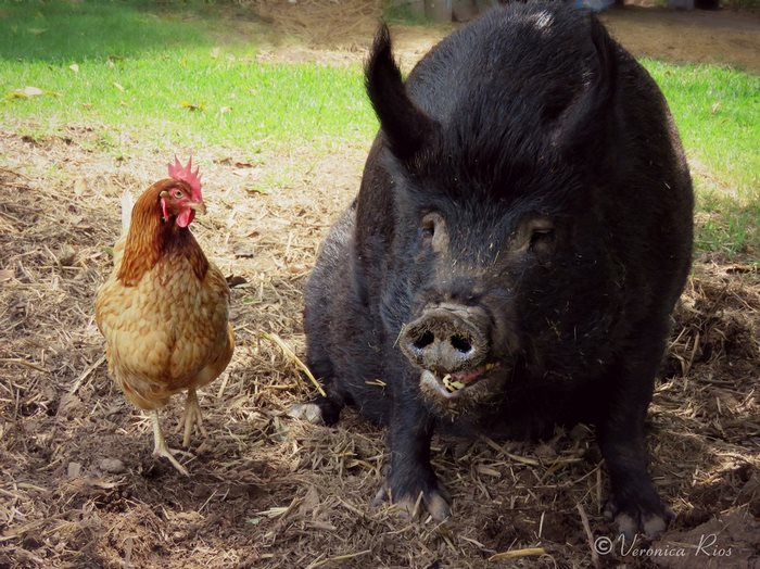 pig-spends-twelve-years-tiny-stall-edna-9