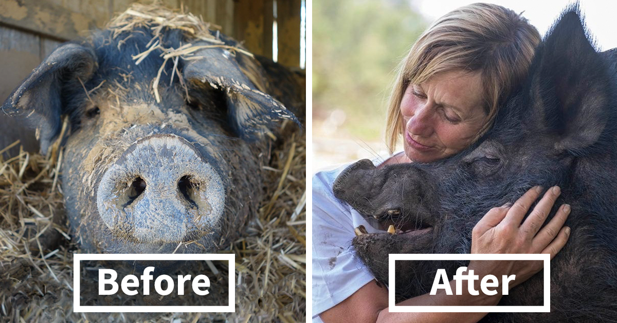 After Spending 12 Years In A Tiny Stall, This Pig Finally Found Someone Who Loves Her
