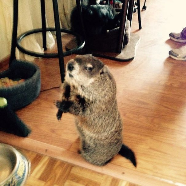 rescued-blind-woodchuck-coco-10