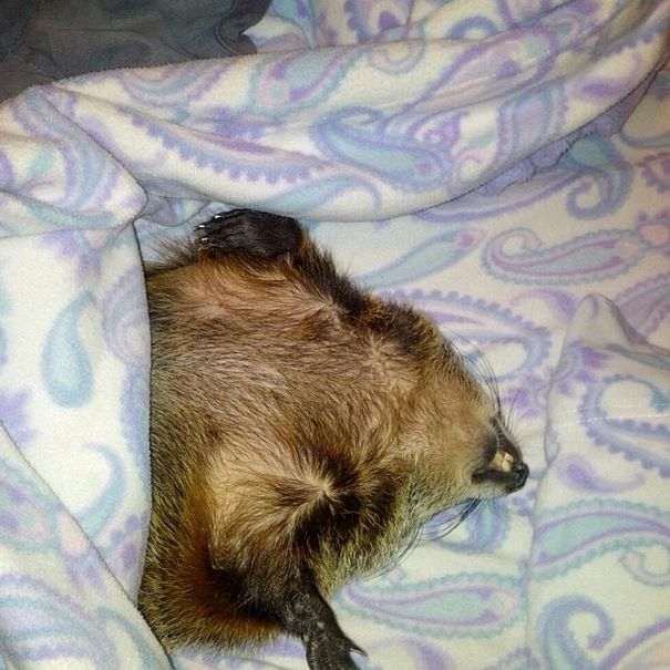 rescued-blind-woodchuck-coco-11