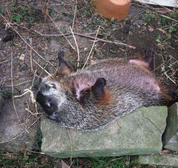 rescued-blind-woodchuck-coco-18
