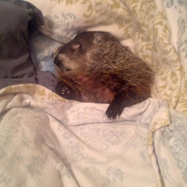 rescued-blind-woodchuck-coco-9
