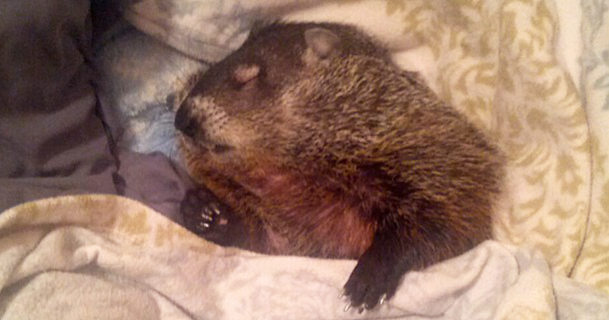 Blind Woodchuck Saved From Death In A Backyard Cannot Stop Snuggling With Its Rescuers