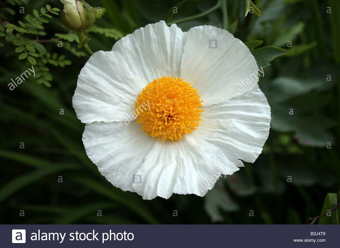 Romneya Coulteri White Cloud Herbaceous Tree Poppy - Stock Image