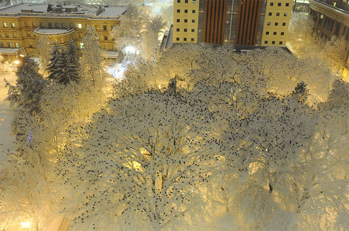 A Murder On Snow: Criminalist Photographs 1000s Of Crows Roosting Atop Snowy Trees