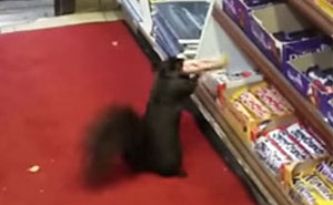 Shop Owner Catches Thieves Who Were Stealing His Goods For 5 Years On Cam... They're Squirrels