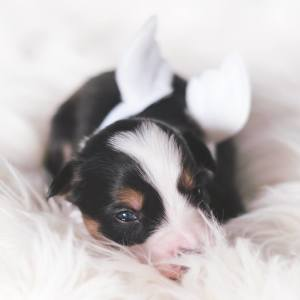 Puppies With Wings! I Repeat: Puppies With Wings! Prepare Your Heart To Be Melted