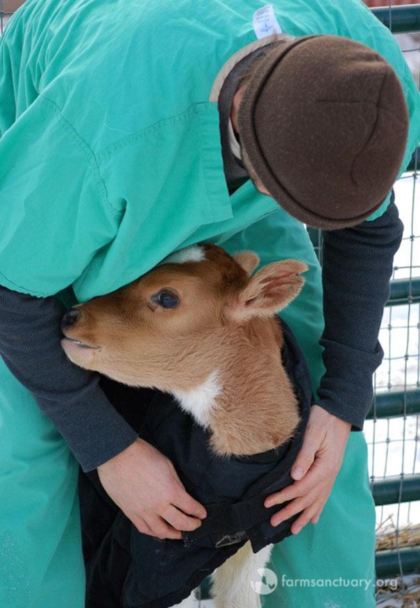 tiny-rescued-auction-calf-blitzen-10