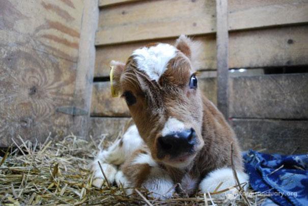 tiny-rescued-auction-calf-blitzen-14