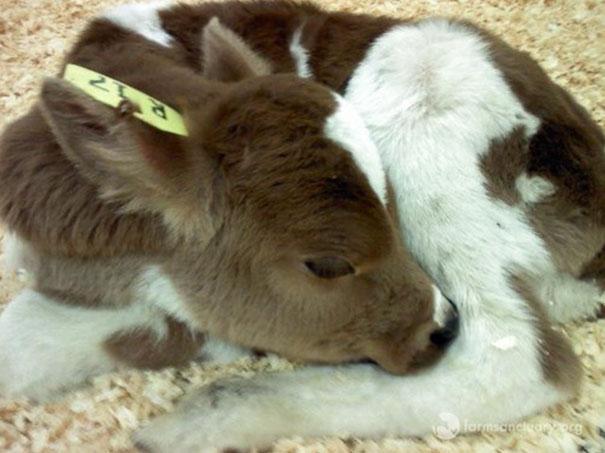 tiny-rescued-auction-calf-blitzen-2