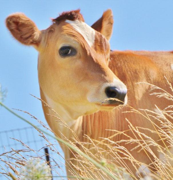 tiny-rescued-auction-calf-blitzen-3