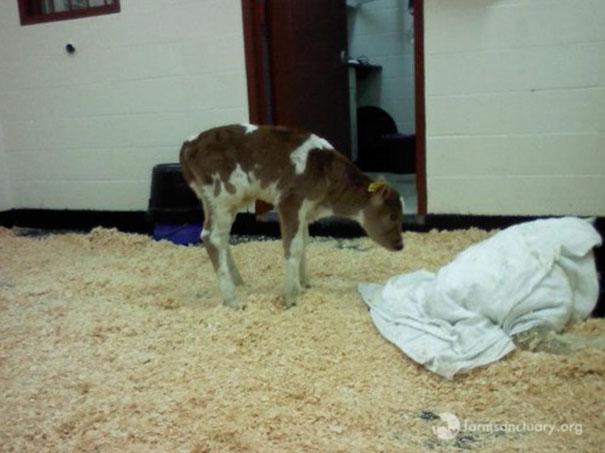 tiny-rescued-auction-calf-blitzen-7