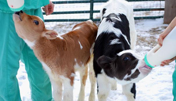 tiny-rescued-auction-calf-blitzen-8