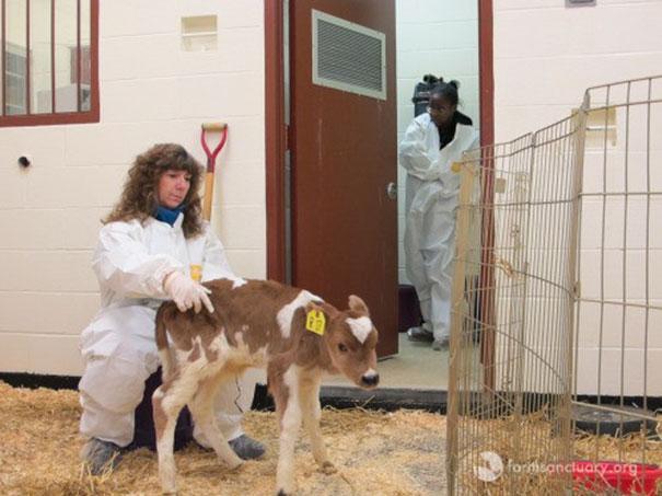 tiny-rescued-auction-calf-blitzen-9
