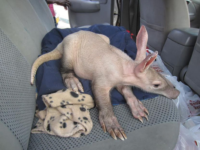 truck-driver-finds-baby-aardvark-namibia-1