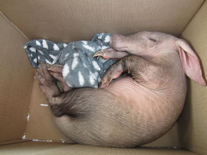 truck-driver-finds-baby-aardvark-namibia-15