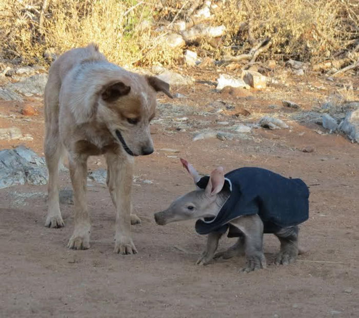 truck-driver-finds-baby-aardvark-namibia-5
