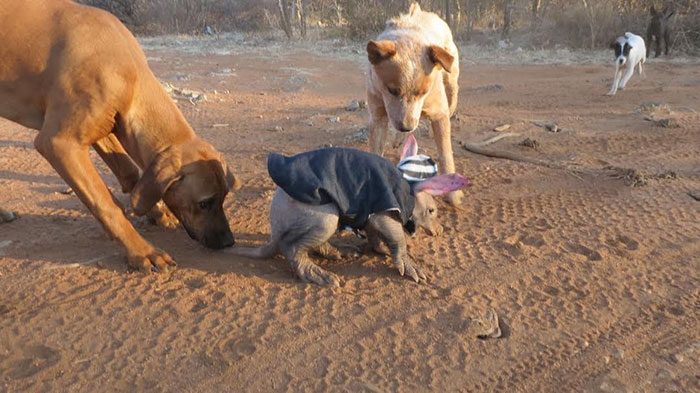 truck-driver-finds-baby-aardvark-namibia-6