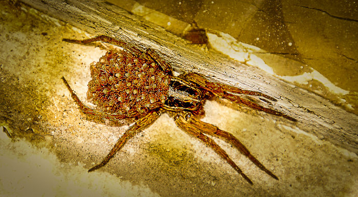 Wolf Spider Mom Keeps Her Babies On Her Back But If You Disturb Her, They Are Like All Over The Place!~