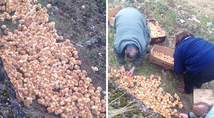 Someone Just Dumped 1000 Tiny Chicks In A Field, And Left Them To Die