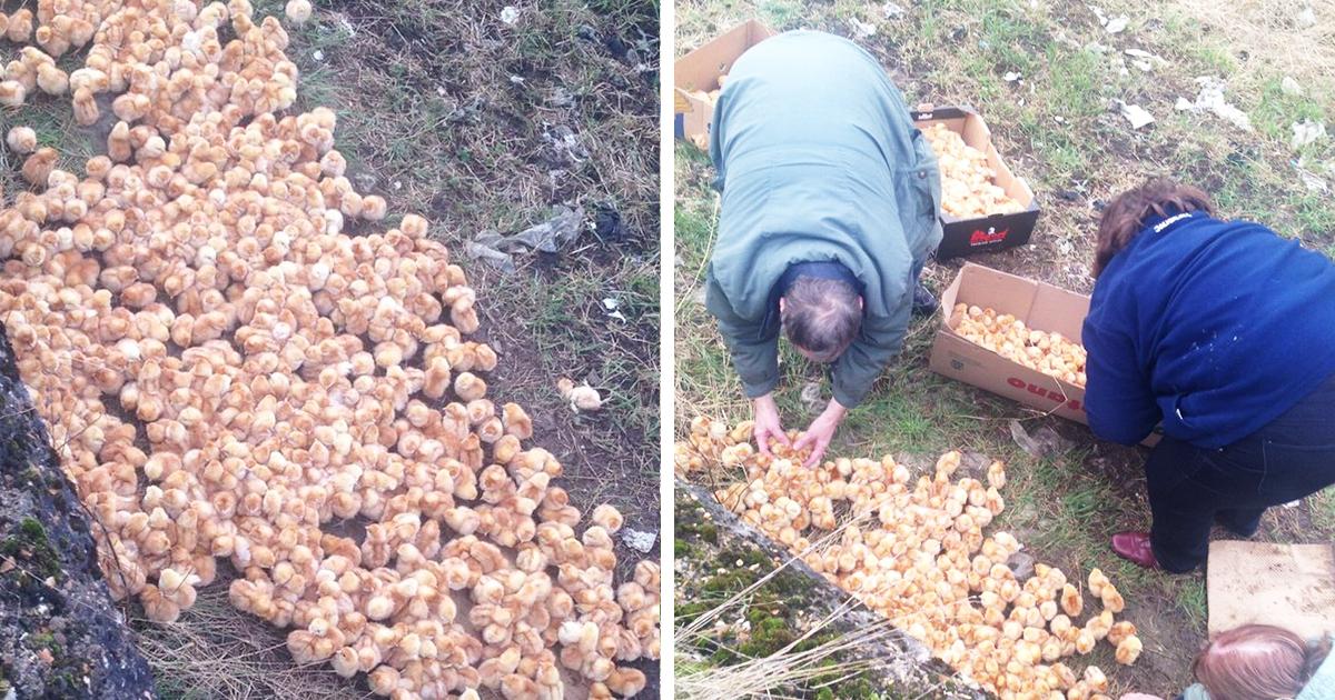 Alguien sólo objeto de dumping 1000 pequeños polluelos en un campo, e izquierda ellos para morir