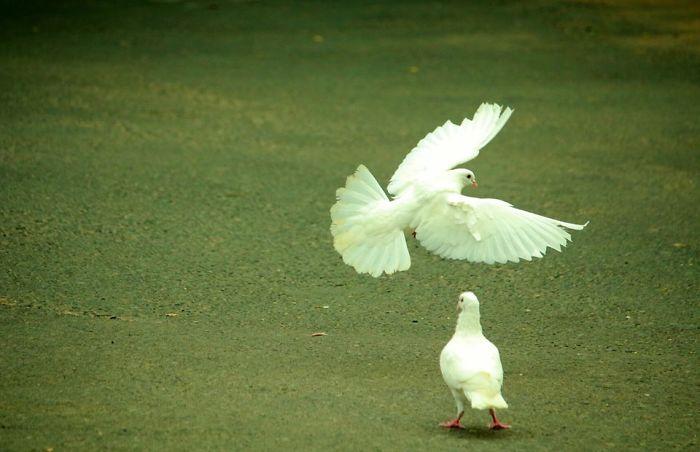 peace Bird Wings