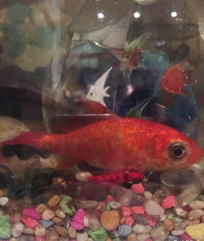 20-year-old-goldfish-tumour-surgery-7