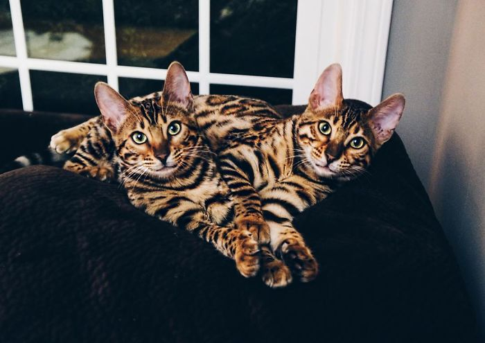 Bengal Siblings Living The Dream