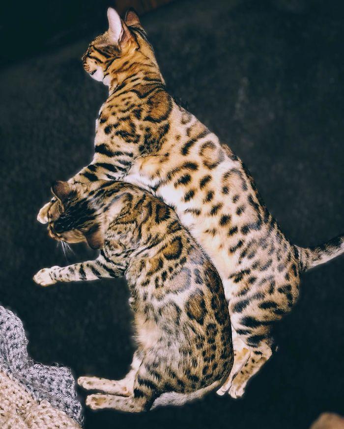 Bengal Siblings Living The Dream