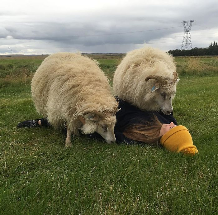 Don't You Just Love It When Your Sheep Walk Over You?