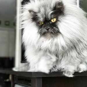 Juno The Angry Cat
