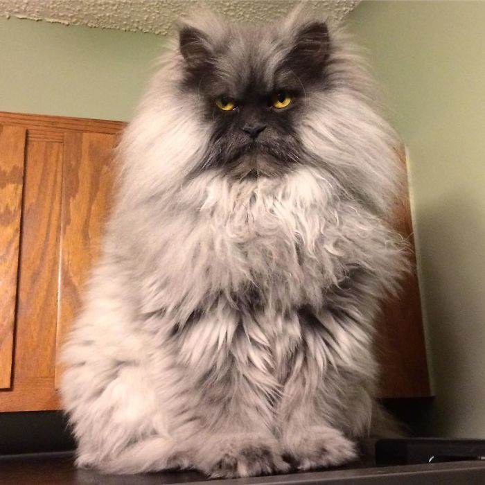 Meet Juno, The Angriest Cat In The World