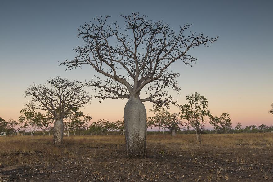 Boab Trees In The Kimberley, WA