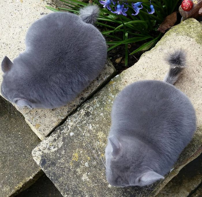 These Chinchillas' Butts Are So Round, They Look Fake