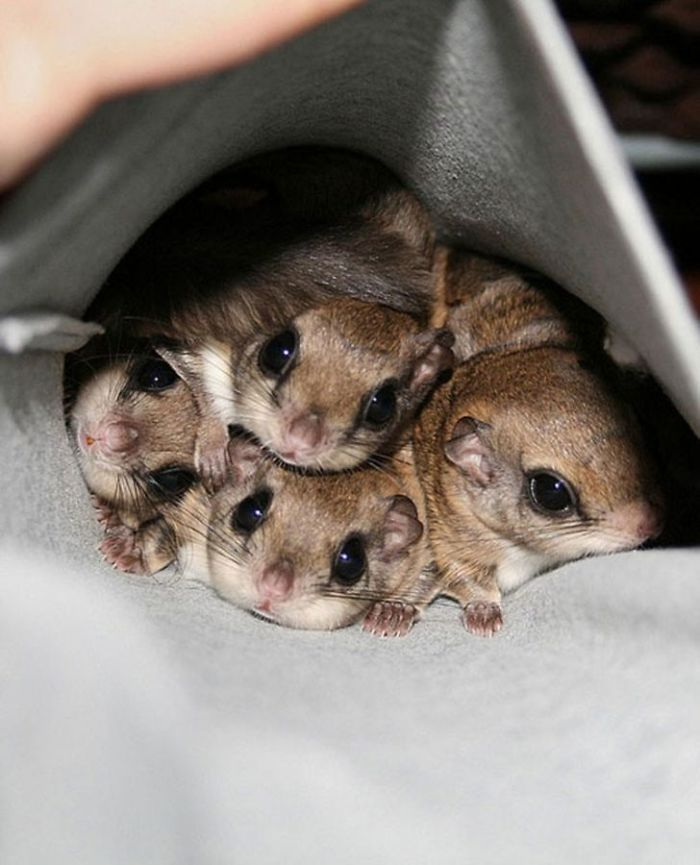 Sugar Gliders... Yes Or No?